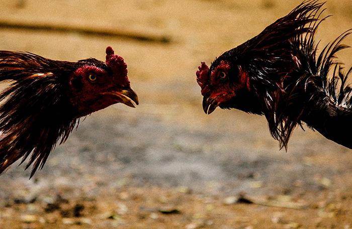 Bermain Sabung Ayam Online S128 dan Tipsnya